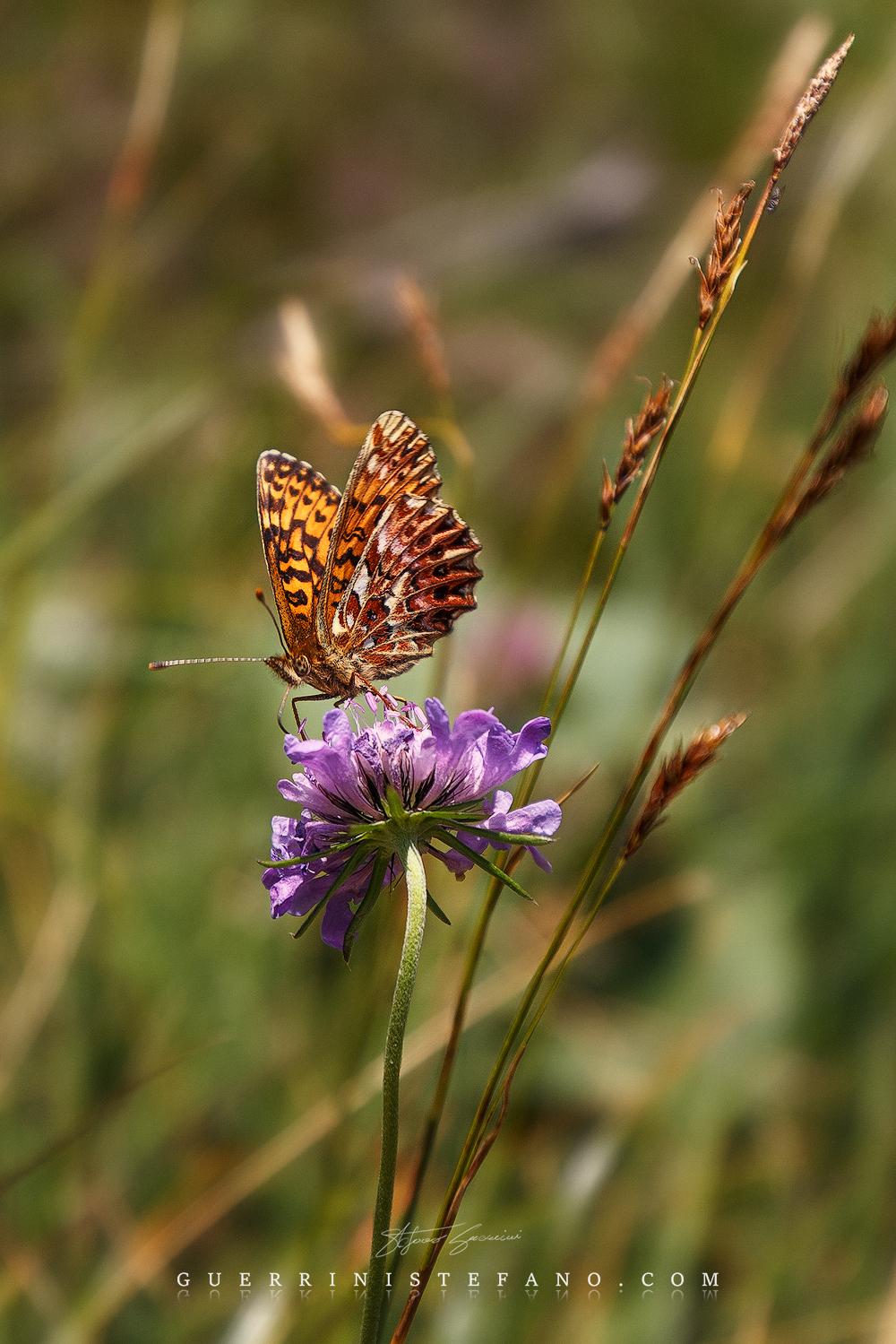 Farfalla-by-Guerrini-Stefano